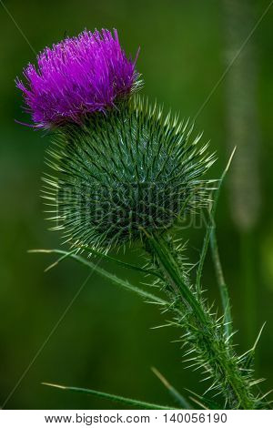 Bull Thistle is a prickly wildflower pretty purple to pink flowers one to two inches wide.