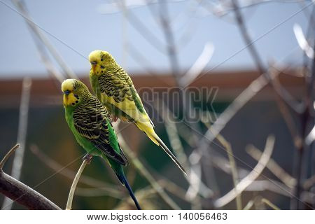 Colorful budgerigars (Melopsittacus undulatus), also called the common pet parakeet, shell parakeet and budgie, perch together on a branch.