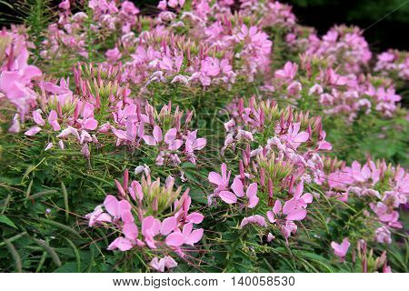 Beautiful landscaped garden with pretty pinkish flowers