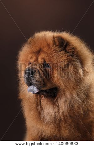 Dog Breed Chow Chow