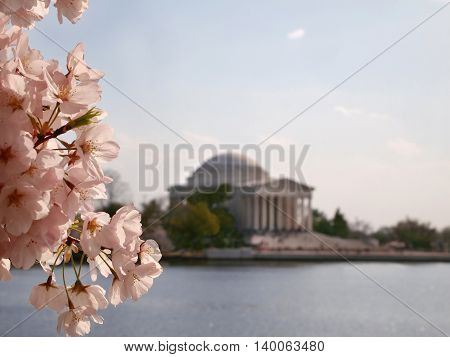 Closeup of cherry blossoms in full bloom with Tidal Basin and Thomas Jefferson Memorial in the distant background. Lots of copy space.