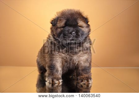 Dog Breed Chow Chow Puppy