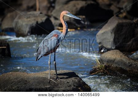 A Goliath Heron standing on a rock
