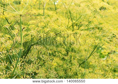 Yellow flowers of Dill (Anethum graveolens) plant in full bloom.