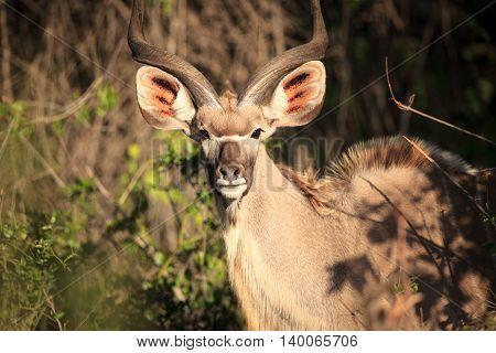 Kudu bull in kruger national park South Africa