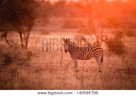Zebra in the kruger national park South Africa