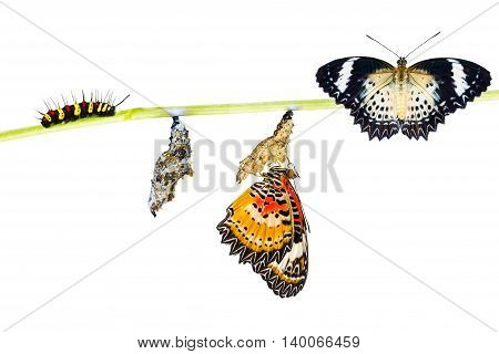 Isolated Leopard lacewing (Cethosia cyane euanthes) butterfly caterpillar pupa and emerging with clipping path