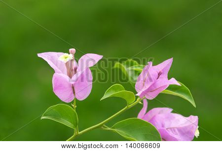 Closeup Pink Flowering bougainvillea on nature background