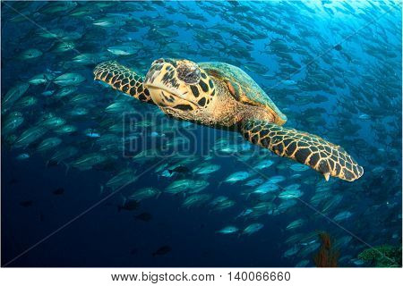 Hawksbill Sea Turtle and school Bigeye Jack fish. Sipadan Island, Malaysia