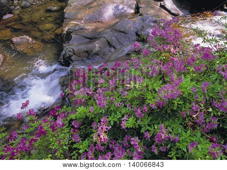 Azalea and Spring Valley