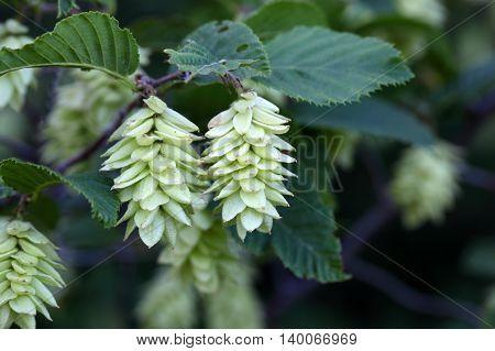 Fruits of the Hop Hornbeam (Ostrya carpinifolia)