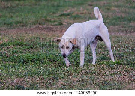 thai white stray dog in lawn , pet