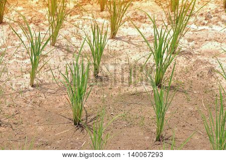 young rice planted on dry soil drought in Thailand.