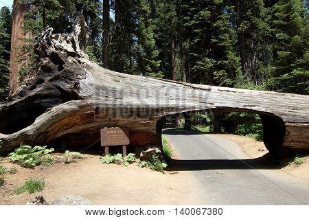 Sequoia National Park's fallen