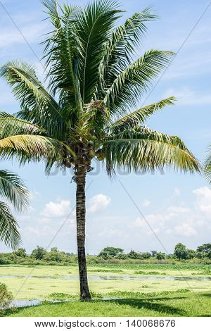 Coconut trees in the park palms, travel