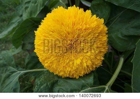 One yellow sunflower 'Teddy bear' close up.