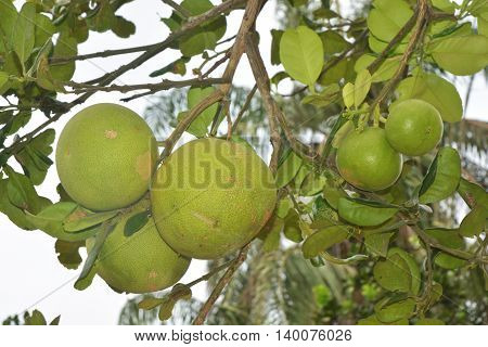 Grapefruit hanging on tree / Grapefruit tree / Pomelo hanging on tree / Pomelo tree / Grapefruit tree with fruits closeup / Pomelo tree with fruits closeup