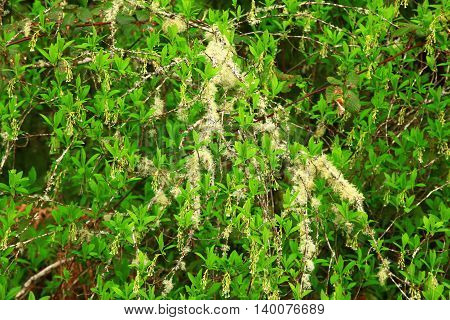 a picture of an exterior Pacific Northwest forest Pacific willow tree with moss