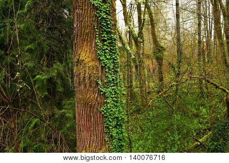 a picture of an exterior Pacific Northwest Black cottonwood  tree with ivy