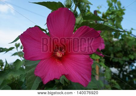 Hibiscus deep burgundy big flower and buds.