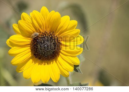 A beautiful sunflower with a bee under the sunlight.