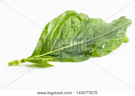 Noni leaf isolated on white background.Noni fruit is herb and leaves used as food and etc.