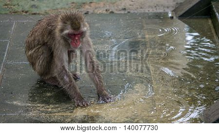 A Japanese Macaque playing in the water