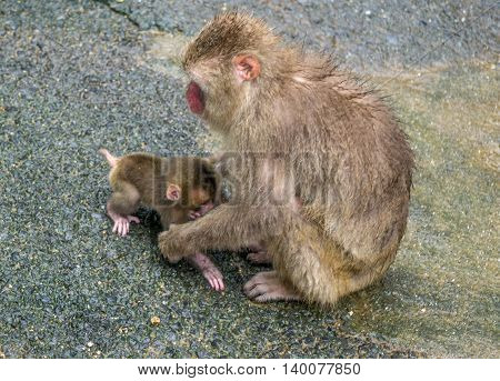 Japanese Macaque mother helping her baby to walk.