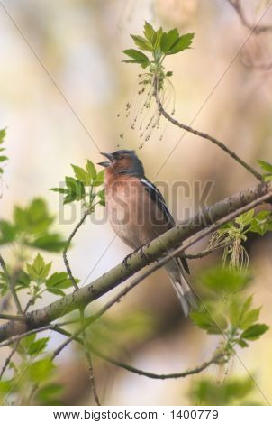 Chaffinch In The Middle Of Leafs