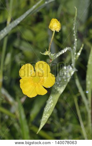 Greater Spearwort - Ranunculus lingua Large Waterside Buttercup