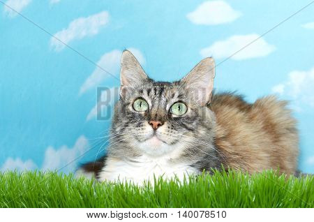 gray black brown and white long haired tabby cat laying in tall grass looking up above viewer blue sky background with white clouds. Copy space