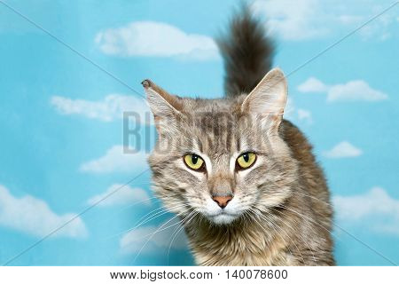 Tan and white long haired tabby looking at viewer facing forward tail up behind cat blue sky background with clouds. Copy space.