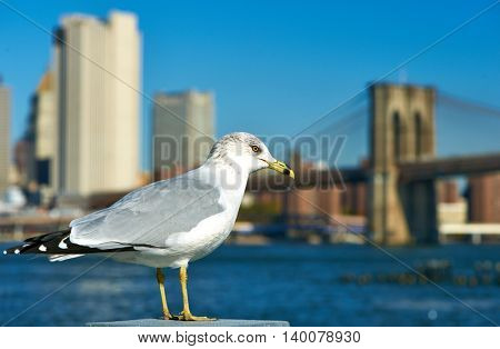 Seagull with Manhattan skyline and Brooklyn bridge in background, New York City.