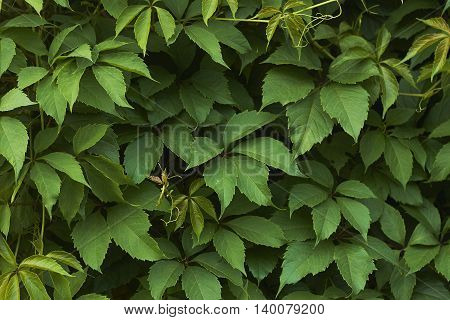 wall of vine green leaves horizontal close up