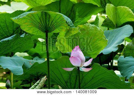 Lotus rare flower. Symbol of purity .