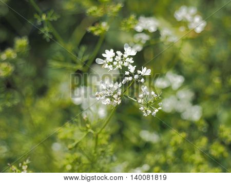 Cilantro Flower and Leaves. Summer Sunny Day, Macro Background