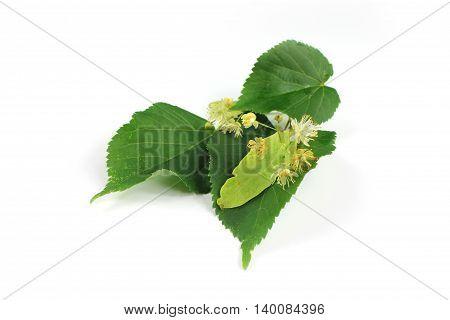 Tilia cordata (linden flowers leaves) on white background.
