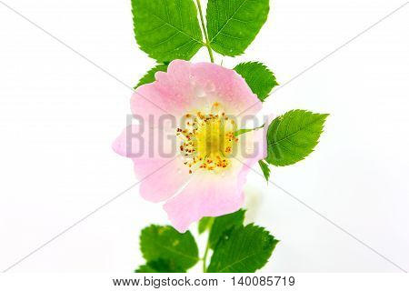 Rosa canina - wild rose blossom with water-drop on white background with shadow.