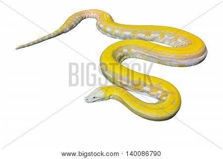Gold PythonReticulated python (Python reticulatus) on White background