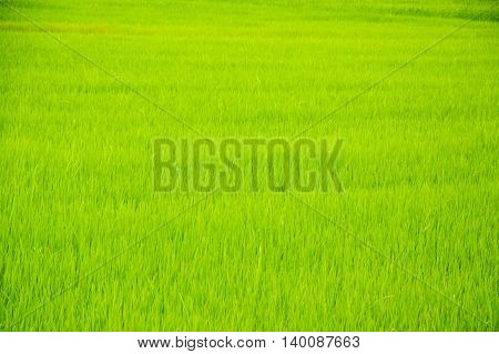the beautiful green rice paddy field in Thailand