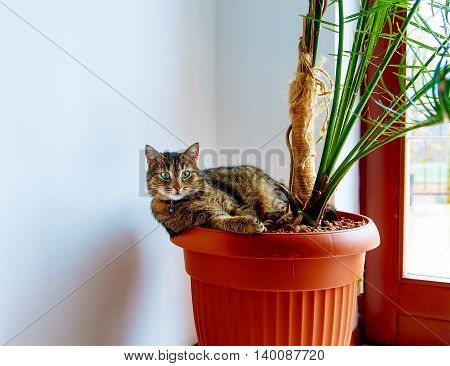 beautiful cat with green eyes resting in a pot with plants. Eye contact