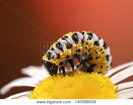 Pest Caterpillar on flower camomile. Yellow and black caterpillar color. macro