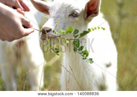 white goat grazing in a meadow in summer