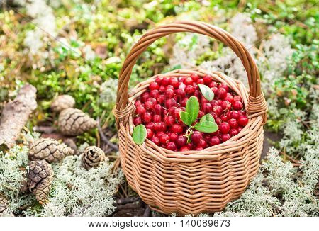 Forest Berries. Ripe Juicy Cowberry In Wicker Basket In The Autumn Forest. Selective Focus
