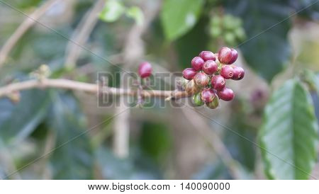 Coffee Beans Ripening