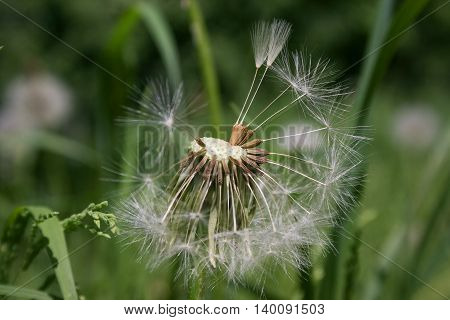 Beautiful white dandelion flowers close-up. Dandelion flower with fluff macro photo on bright green background