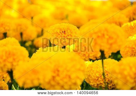 a lot of Yellow Marigolds flower background