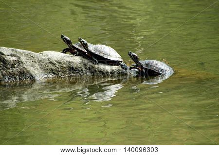 Three turtles on a large rock outdoors.