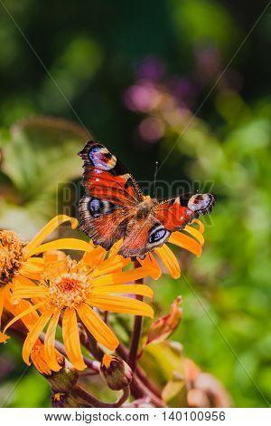 The European Peacock butterfly or Aglais io in the garden