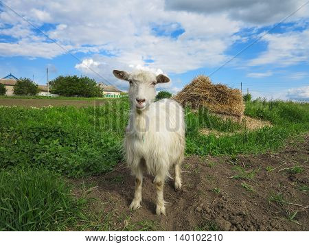 White Goat Grazing On A Green Meadow On Sunny Day